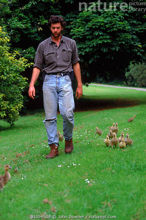 Nigel Williams with imprinted Greylag goose chicks following him - preparation for filming of BBC tv series 'Supernatural', BABIES,BIRDS,BIZARRE,CHICKS,DOWNER,FOLLOWING,FOSTER,GEESE,GOOSE,GREYLAG,GROUPS,IMPRINTED,IMPRINTING,JD,MAN,NIGEL,PARENT,PEOPLE,VERTICAL,WALKING,WILLIAMS, John Downer