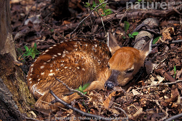 Whitetail deer fawn {Odocoileus virginianus} Wisconsin, USA, ARTIODACTYLA,BABIES,CUTE,MAMMALS,NORTH AMERICA,PENINSULA,RESERVE,RESTING,SLEEPING,WHITETAILED,WOODLANDS, Thomas Lazar
