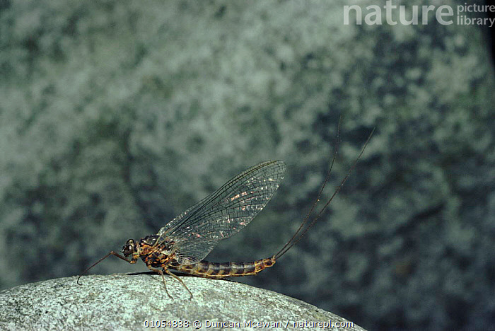 Mayfly resting on rock, Scotland, UK  ,  DMC,SCOTLAND,UK,WINGS,DUNCAN,EUROPE,HORIZONTAL,MCEWAN,INSECTS,UNITED KINGDOM,INVERTEBRATES,BRITISH,EPHEMEROPTERA  ,  Duncan Mcewan