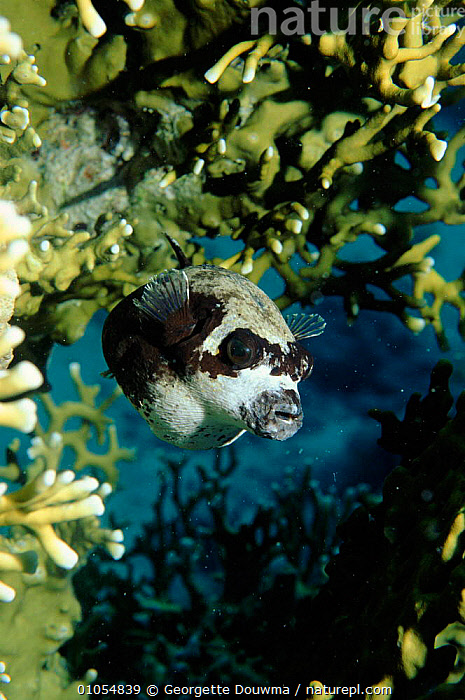 Masked Pufferfish, Red Sea. Skin and reproductive organs contain tetrodotoxin.  ,  MARINE,TETRODOTOXIN,DOUWMA,FISH,VERTICAL,POISONOUS,GD,RED,SEA  ,  Georgette Douwma