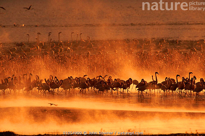 Lesser Flamingos {Phoeniconaias minor} at sunset. Lake Bogoria, Kenya, Africa.  ,  KENYA,,HORIZONTAL,BIRDS,DOWNER,FLOCKS,LANDSCAPES,BOGORIA,JD,LAKE,,EAST AFRICA,AFRICA,SUNSET,JOHN ,LAKES  ,  John Downer