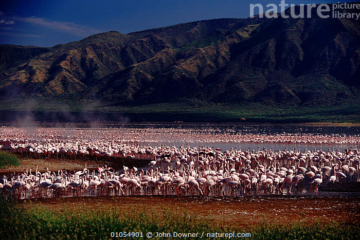 Lesser Flamingos {Phoeniconaias minor} at Lake Bogoria, Kenya, Africa.  ,  KENYA,MOUNTAINS,JD,PINK,BOGORIA,LANDSCAPES,FLOCKS,BIRDS,DOWNER,LAKE,AFRICA,,WADING BIRDS,EAST AFRICA,HORIZONTAL,JOHN ,LAKES  ,  John Downer