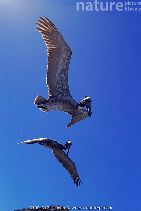 Male brown pelicans (Pelecaanus occidentalis) in flight. San Lucas, Mexico, Central America  ,  ACTION,SKY,FLYING,MALE,LUCAS,SAN,MEXICO,BIRDS,VERTICAL,TWO,  ,  John Downer