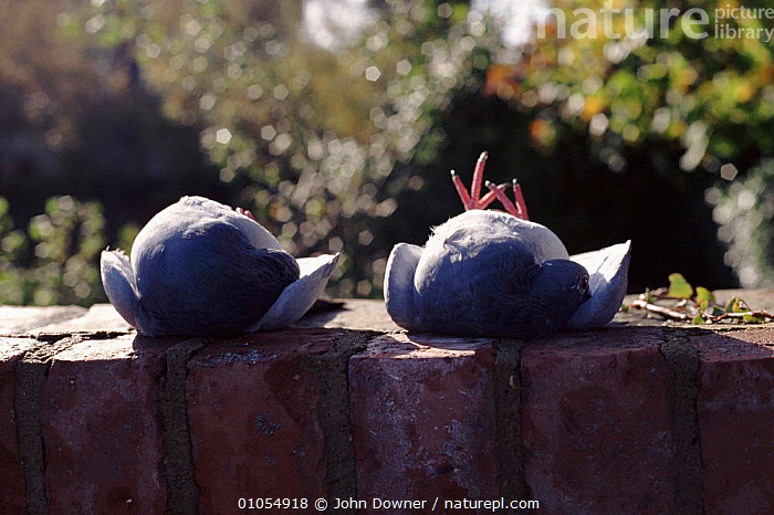 Pigeons immobilised by tucking head under wing, function unknown  ,  TUCKING,INTERESTING,IMMOBILISED,HEAD,JOHN,BIRDS,JD,PIGEONS,,HORIZONTAL,WING,EUROPE,DOWNER,ENGLAND,PIGEON  ,  John Downer