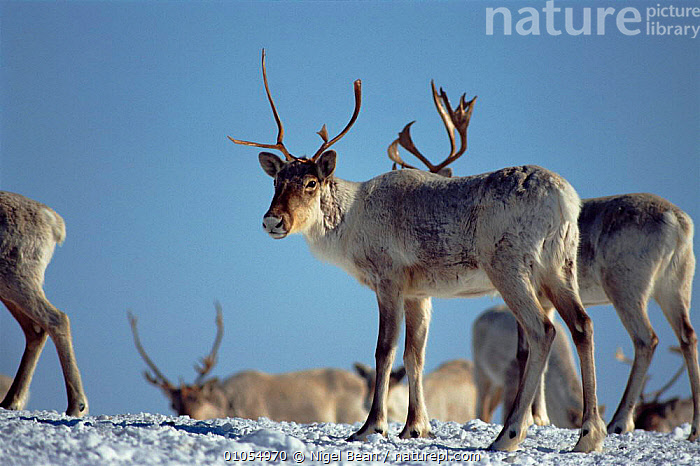 Caribou (Rangifer tarandus) group in snow. Near Goose Bay, Labrador, Canada  ,  CANADA,MALES,LABRADOR,MAMMALS,ARTIODACTYLA,TUNDRA,CARIBOU,GROUPS,HORIZONTAL,SNOW,WHITE,NORTH AMERICA  ,  Nigel Bean