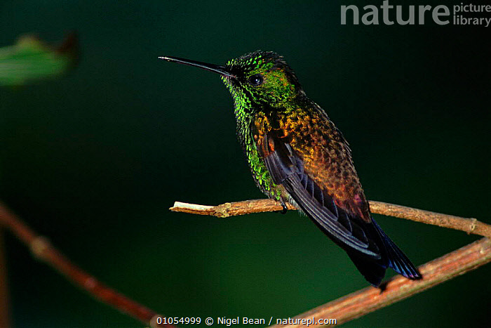 Copper-rumped hummingbird, Trinidad.  ,  IRIDESCENCE,TROPICAL RAINFOREST,NBE,COPPER RUMPED,GREEN,COLOURFUL,BEAN,TRINIDAD,CARIBBEAN,HUMMINGBIRDS,West Indies ,BIRDS,VERTEBRATES,HUMMINGBIRDS  ,  Nigel Bean