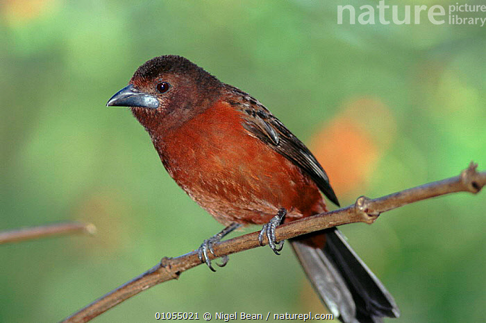 Silver beaked Tanager female at Asa Wright Nature Centre, Trinidad.  ,  CARIBBEAN,FEATHERS,FEMALES,BIRDS,NBE,TRINIDAD,BEAN,TROPICAL RAINFOREST,West Indies  ,  Nigel Bean