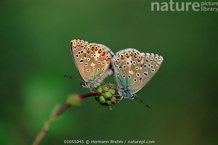 Idas blue butterflies mating, Germany  ,  MALE FEMALE PAIR,VERTICAL,BREHM,TORSTEN,EUROPE,INSECTS,HORIZONTAL,MATING BEHAVIOUR,TWO,COPULATION,GERMANY,TB,REPRODUCTION,INVERTEBRATES,LEPIDOPTERA  ,  Hermann Brehm