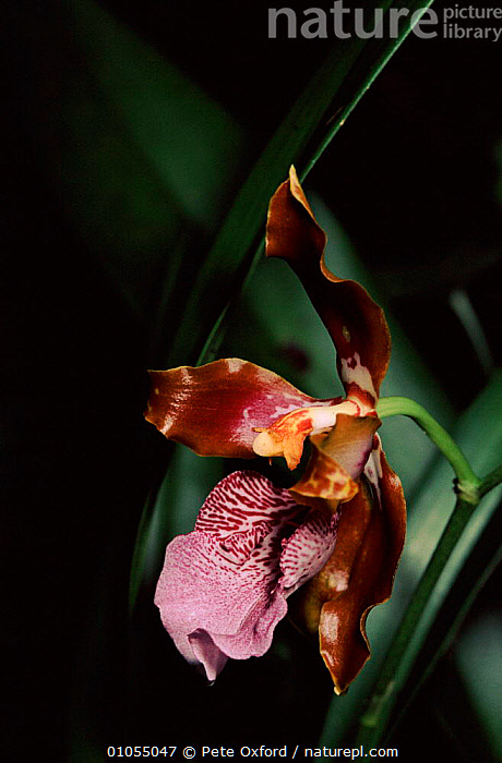 Orchid growing in cloud forest at Machu Picchu, Peru  ,  CLOUD FOREST,FLOWERS,RAINFOREST,SOUTH AMERICA,HORIZONTAL,PLANTS,PURPLE,PERU,OXFORD,PO  ,  Pete Oxford
