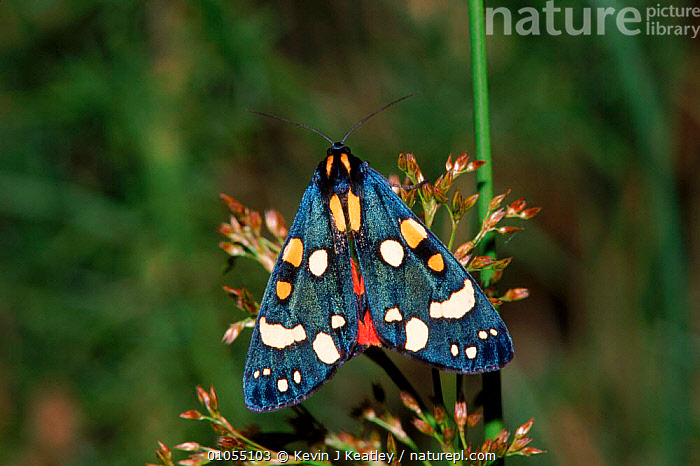 Scarlet tiger moth (Callimorpha dominul). Devon, England, UK, Europe  ,  COLOURFUL, ENGLAND, EUROPE, INSECTS, INVERTEBRATES, MOTHS, HORIZONTAL, LEPIDOPTERA, NOCTUID-MOTHS, SITTING,United Kingdom  ,  Kevin J Keatley