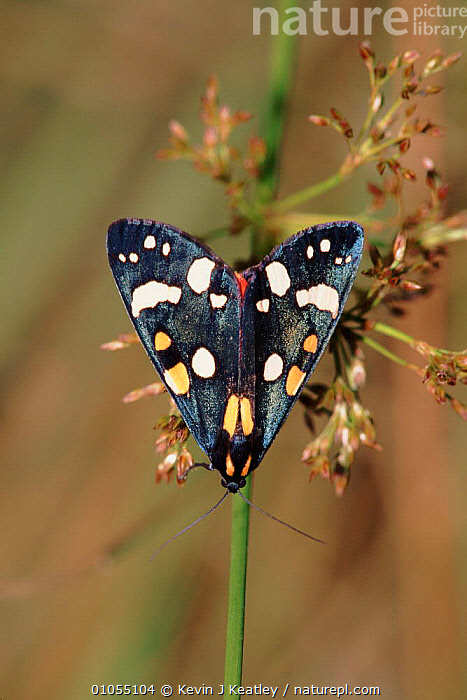 Scarlet tiger moth, England, Europe.  ,  INSECTS, INVERTEBRATES, NOCTUID-MOTHS, UK, COLOURFUL, ENGLAND, EUROPE, LEPIDOPTERA, MOTHS, VERTICAL,United Kingdom  ,  Kevin J Keatley