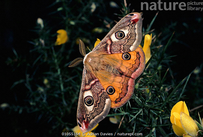 Small emperor moth male displaying hindwings, Germany, Europe. 2/2 sequence  ,  COLOURFUL, COMMUNICATION, DISPLAY, EMPEROR-MOTHS, EUROPE, GERMANY, HORIZONTAL, INSECTS, INVERTEBRATES, LEPIDOPTERA, MALES, MOTHS, SEQUENCE, SPOTS, WINGS  ,  Adrian Davies