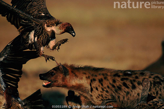 Spotted hyaena and White backed vulture dispute at carcass, Masai Mara, Kenya  ,  MASAI,ACTION,BACKED,MAMMALS,AFRICA,BIRDS,HORIZONTAL,AS,DRAMATIC,RESERVE,SHAH,VULTURE,FIGHTING,EAST AFRICA,MIXED SPECIES,CARNIVORES,SCAVENGING,KENYA,MARA,HYENA,SAVANNA,GRASSLAND,AGGRESSION,Concepts  ,  Anup Shah