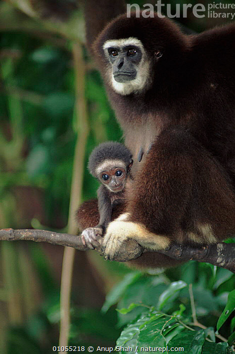 White-handed gibbon with young. Species native to South East Asia  ,  ENDANGERED,CUTE,MAMMALS,PRIMATES,BABIES,SHAH,FAMILIES,WHITE,APE,AS,CAPTIVE,HANDED,VERTICAL,APES  ,  Anup Shah