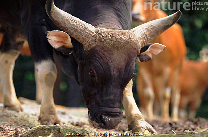 Banteng cattle male - endangered species occurring in forested areas of South East Asia. Domesticated in Indonesia.  ,  {BOS,70,ANUP,ARTIODACTYLA,AS,CATTLE,HEADS,HORIZONTAL,HORNS,JAVANICUS},MALES,MAMMALS,SHAH  ,  Anup Shah