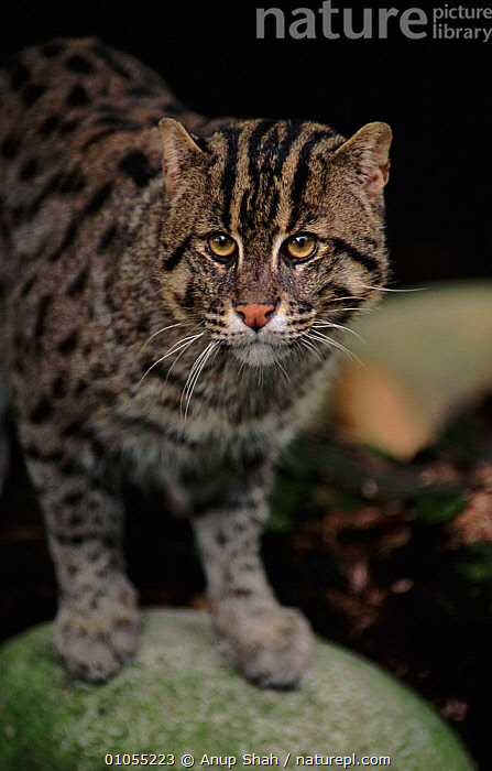 Fishing cat portrait. Occurrs in South East Asia and India - probably endangered.  ,  MAMMALS,VERTICAL,AS,SHAH,INDIA,SOUTH EAST ASIA,PORTRAITS,CAPTIVE,CARNIVORES,ASIA  ,  Anup Shah