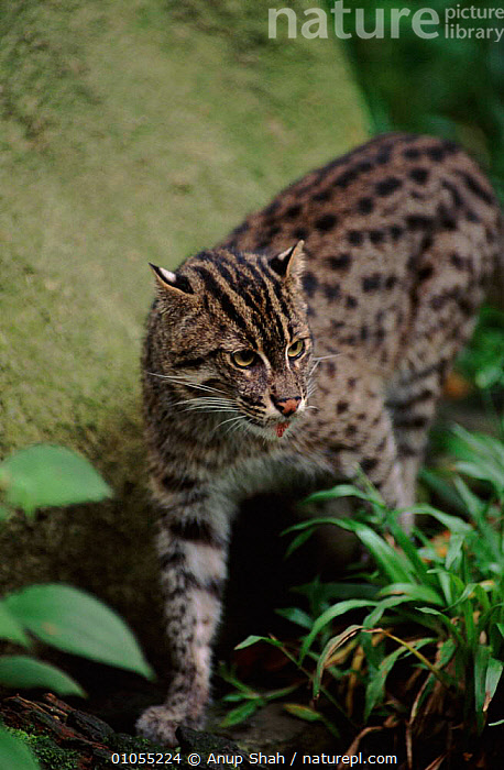 Fishing cat. Occurrs in South East Asia and India. Probably endangered  ,  MAMMALS,CARNIVORES,CAT,ENDANGERED,VERTICAL,CAPTIVE,SHAH,AS  ,  Anup Shah