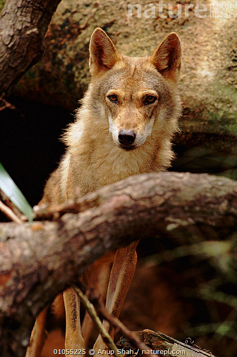 Indian wolf (Grey wolf) - rare in India  ,  INDIAN SUBCONTINENT,VULNERABLE,MAMMALS,AS,VERTICAL,CARNIVORES,SHAH,INDIA,ASIA,DOGS,CANIDS  ,  Anup Shah