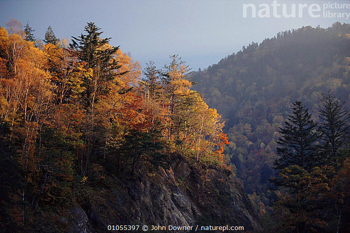 Mixed woodland (Japanese larch and maples) Northern Alps, Hirayu, Japan, Asia.  ,  AUTUMN,HORIZONTAL,JAPANESE,JD,MAPLES,MIXED WOODS,MOUNTAINS,ORANGE,PLANTS,TREES,WOODLANDS,Asia  ,  John Downer