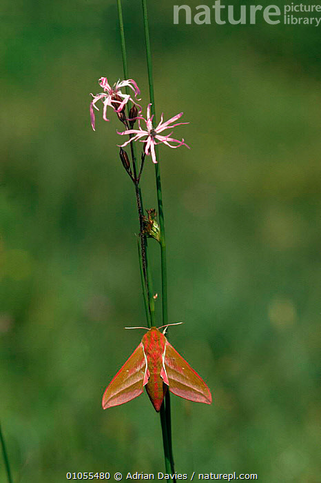 Elephant hawk moth {Deilephila elpenor}, on ragged robin southern England.  ,  ADA,EUROPE,FLOWERS,DAVIES,VERTICAL,INSECTS,ADRIAN,ENGLAND,INVERTEBRATES,WINGS,LEPIDOPTERA  ,  Adrian Davies