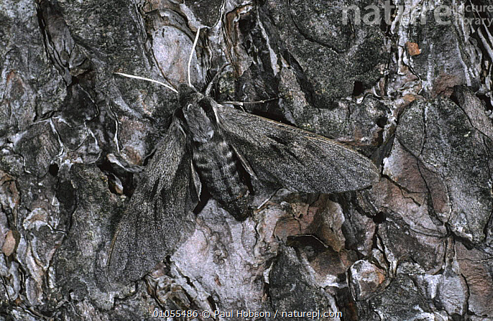 Pine hawk (Sphinx pinastri) camouflaged on the bark of a pine, Derbyshire UK  ,  BARK, CAMOUFLAGE, EUROPE, HAWKMOTHS, INSECTS, INVERTEBRATES, LEPIDOPTERA, MOTHS, UK, WINGS,Plants,United Kingdom  ,  Paul Hobson