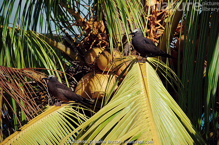 Common noddy pair in coconut tree, Seychelles, BRITTON,TWO,BB,COCONUT,BIRDS,BLACK,MALE FEMALE PAIR,SEYCHELLES,HORIZONTAL,TREES,PAIR,SEABIRDS,PLANTS,NODDY TERN,STERNIDAE, Barrie Britton