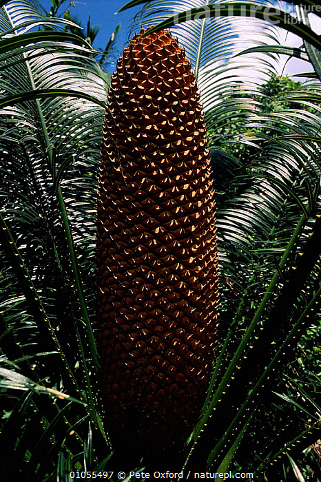 Cycads (Cycas sp.). Grande Comore, Comoros, Indian Ocean  ,  LEAVES,PLANTS,GYMNOSPERMAE,,ISLANDS,EVERGREENS,VERTICAL,GRANDE,COMOROS,SEEDS,COMORE,CYCADOPSIDA,GYMNOSPERMS  ,  Pete Oxford
