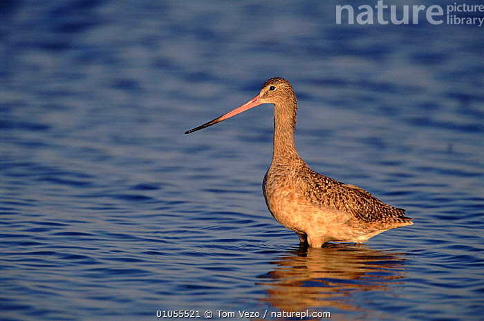 Marbled godwit wading in water, Salton Sea, California, USA.  ,  USA,,TV,VEZO,WADERS,CALIFORNIA,GODWIT,BIRDS,WATER,HORIZONTAL,NORTH AMERICA  ,  Tom Vezo
