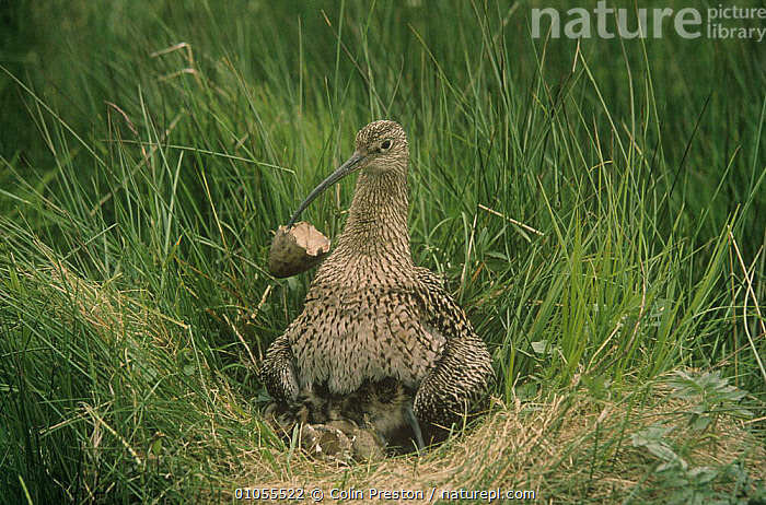 Curlew {Numenius arquata} clearing eggshell from nest, UK, Europe., BIRDS,CURLEWS,EGGS,EUROPE,nesting behaviour,NESTS,PLOVERS,UK,VERTEBRATES,WADERS,Reproduction, United Kingdom, Colin Preston