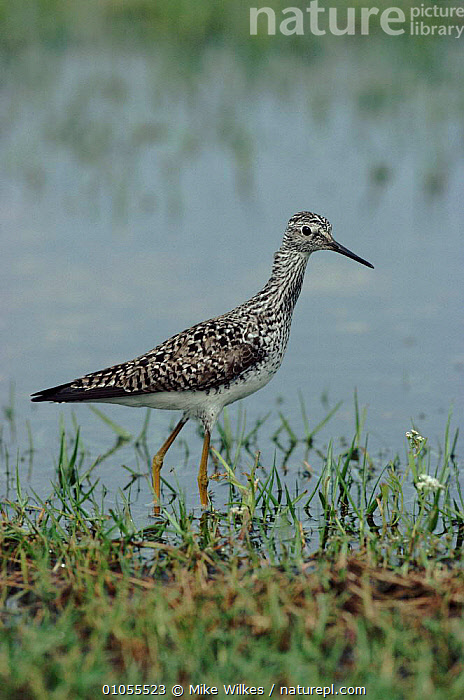 Lesser yellowlegs wading in water, Texas, USA.  ,  WADERS,MIKE,WILKES,MW,,TEXAS,USA,WETLANDS,REFLECTIONS,WATER,BIRDS,VERTICAL,NORTH AMERICA  ,  Mike Wilkes