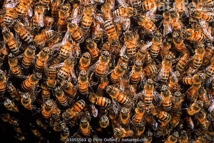 Honey bees in hive {Apis mellifera} Ecuador  ,  HORIZONTAL,INSECTS,GROUPS,SOUTH AMERICA,PATTERNS,PROJECT,INVERTEBRATES,HYMENOPTERA ,honeybee,honeybees  ,  Pete Oxford