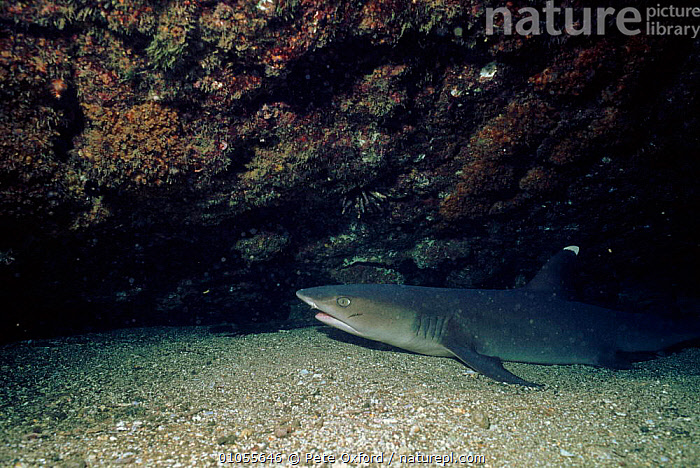 White-tipped reef shark off Galapagos Islands.  ,  OXFORD,UNDERWATER,MARINE,PO,CHONDRICHTHYES,FISH,GALAPAGOS*,SHARKS, Fish  ,  Pete Oxford