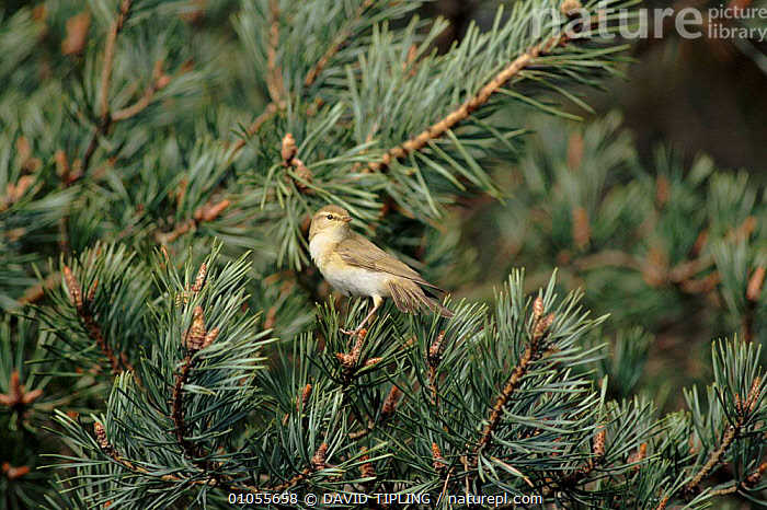 Willow warbler in pine tree, New Forest, Hampshire, England  ,  PINE,BIRDS,CONIFEROUS,TREES,DTI,ENGLAND,HORIZONTAL,EUROPE,PASSERINES,TIPLING,UK,UNITED KINGDOM,PLANTS,BRITISH  ,  DAVID TIPLING