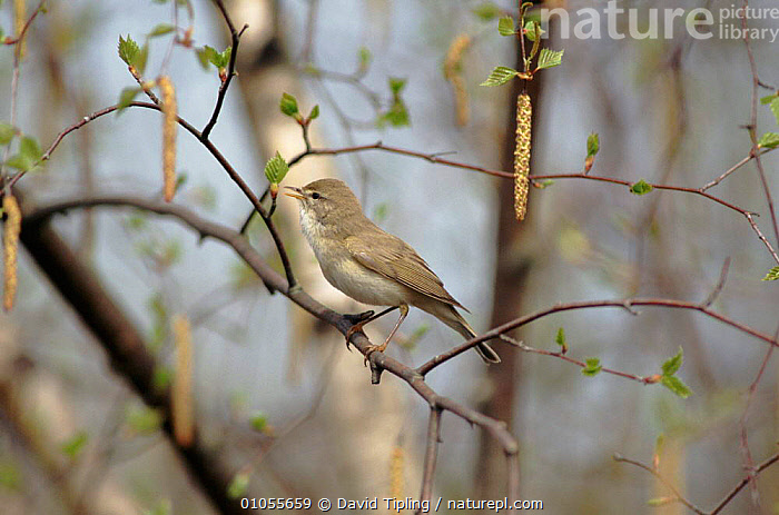 Willow warbler singing, early spring, New Forest, Hampshire, England,  ,  TREES,TIPLING,DTI,HORIZONTAL,SINGING,WOODLANDS,CATKINS,ENGLAND,SPRING,EUROPE,UK,PASSERINES,BIRDS,VOCALISATION,UNITED KINGDOM,PLANTS,BRITISH  ,  David Tipling