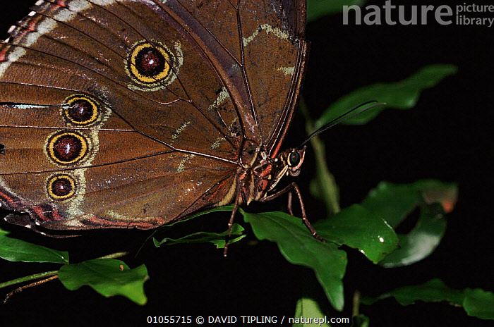 Morpho butterfly, Manu NP, Amazonian Basin, Peru.  ,  MANU,HORIZONTAL,PERU,TROPICAL RAINFOREST,WINGS,BROWN,INSECTS,NP,TIPLING,INVERTEBRATES,NATIONAL PARK,LEPIDOPTERA  ,  DAVID TIPLING