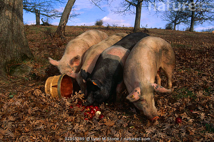 Domestic pigs, {Sus scrofa domestica} mixed breed feeding on apples, Illinois, USA  ,  ARTIODACTYLA,BEHAVIOUR,FOUR,FRUIT,GROUPS,HOGS,LIVESTOCK,MAMMALS,NORTH AMERICA,PIG,PIGS,SUIDS,USA,VERTEBRATES,Plants  ,  Lynn M Stone