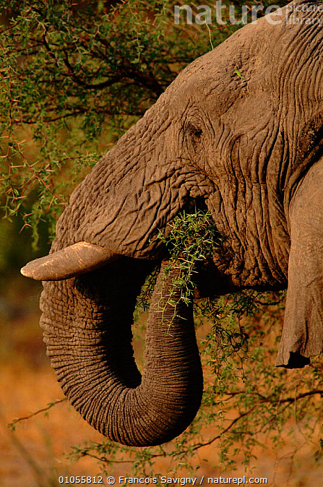 African elephant feeding on thorn tree, Moremi,  Botswana  ,  FEEDING,PROFILE,HEADS,SAVIGNY,SOUTHERN AFRICA,BOTSWANA,ELEPHANT,THORN,MOREMI,FS,VERTICAL,CLOSE UPS,MAMMALS,TREE,AFRICA,RESERVE,TRUNKS,ELEPHANTS  ,  Francois Savigny