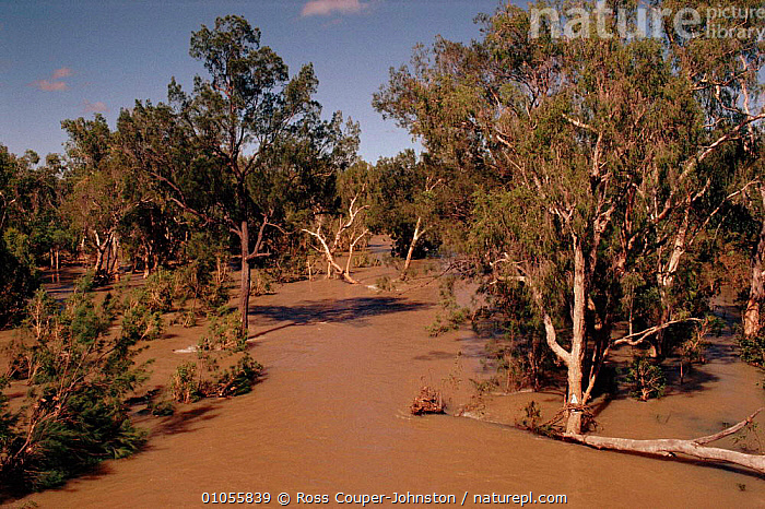 Flooded Eucalyptus forest. Chillagoe, New Queensland, Australia  ,  CHILLAGOE,FOREST,HORIZONTAL,FLOODS,WET SEASON,EUCALYPTUS,TREES,RIVERS,PLANTS,AUSTRALIA  ,  Ross Couper-Johnston