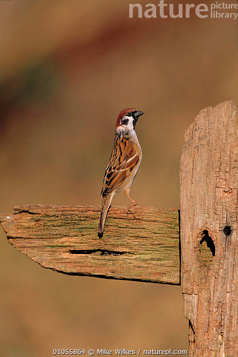Tree sparrow perched, England,  UK  ,  MW,UK,ENGLAND,VERTICAL,WILKES,EUROPE,MIKE,PASSERINES,BIRDS,UNITED KINGDOM,BRITISH  ,  Mike Wilkes