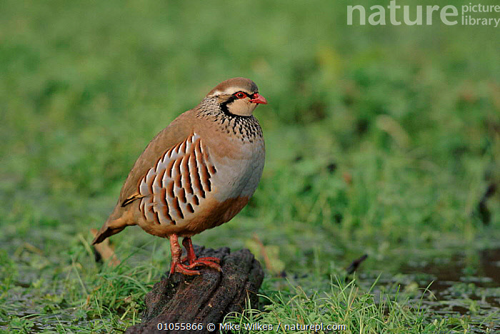 Red legged partridge in field, Worcestershire, UK  ,  BIRDS,MW,FARMLAND,HORIZONTAL,EUROPE,UK,ENGLAND,PROFILES,WILKES,UNITED KINGDOM,BRITISH  ,  Mike Wilkes