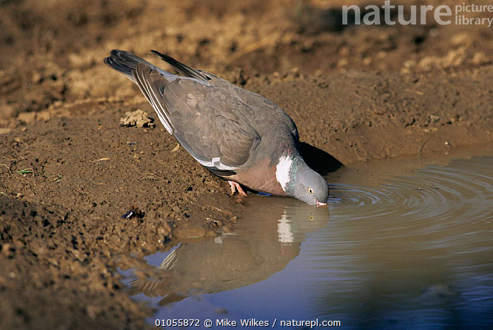 Wood pigeon drinking {Columba palumbus} Worcestershire UK  ,  BIRDS,COLUMBIFORMES,DOVES,DRINKING,ENGLAND,EUROPE,HORIZONTAL,UK,VERTEBRATES,WOODLANDS,United Kingdom,British,Pigeons , woodpigeon, United Kingdom  ,  Mike Wilkes