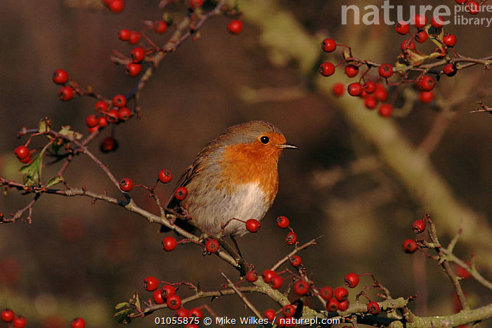 Robin in Hawthorn bush with berries, England,  UK  ,  BERRIES,EUROPE,RED,BIRDS,ENGLAND,WILKES,HAWTHORN,WINTER,FRUIT,UK,MW,MIKE,HORIZONTAL,UNITED KINGDOM,PLANTS,BRITISH  ,  Mike Wilkes