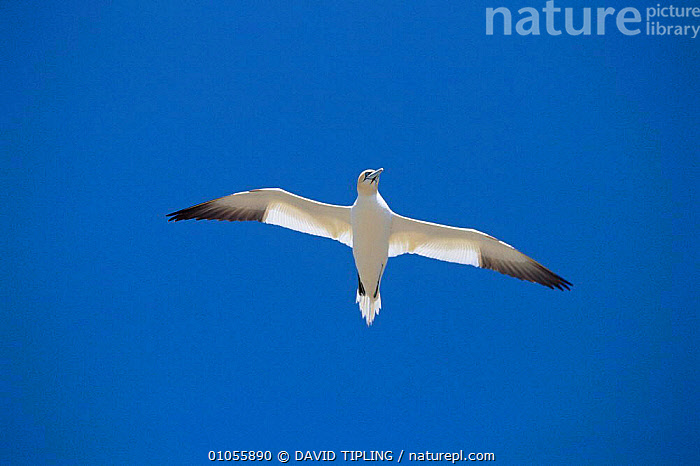 Northern gannet flying, Great Saltee Island, Co Wexford, Ireland  ,  BIRDS, BOOBIES, EIRE, EUROPE, FLYING, GANNETS, HORIZONTAL, IRELAND, SEABIRDS, SKY, VERTEBRATES, WHITE  ,  DAVID TIPLING