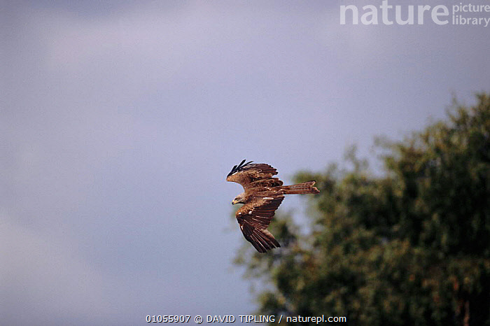 Black kite flying, France, Europe.  ,  ,EUROPE,BIRDS,FLYING,HORIZONTAL,SKY,TIPLING,FRANCE,DTI ,BIRDS OF PREY  ,  DAVID TIPLING