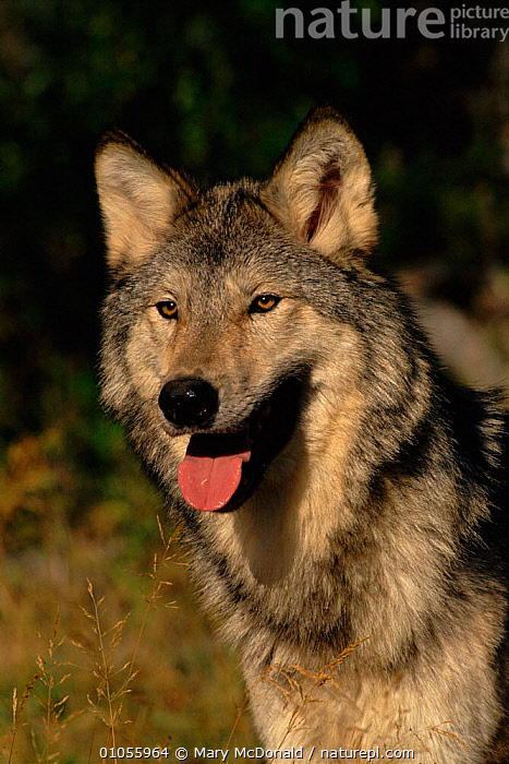 Grey wolf (Canis lupus). USA  ,  HORIZONTAL,CARNIVORES,TONGUE,USA,VERTICAL,MAMMALS,NORTH AMERICA,HEADS,PORTRAITS,DOGS,CANIDS  ,  Mary McDonald
