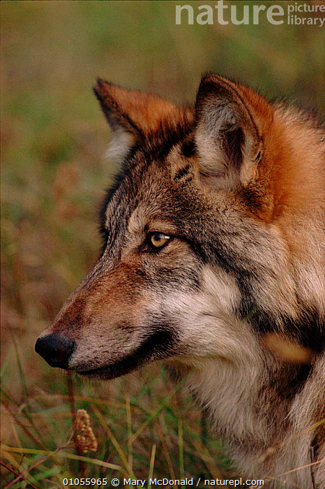 Grey wolf (Canis lupus). USA  ,  CARNIVORES,PROFILE,VERTICAL,NORTH AMERICA,PORTRAITS,MAMMALS,USA,HEADS,DOGS,CANIDS  ,  Mary McDonald
