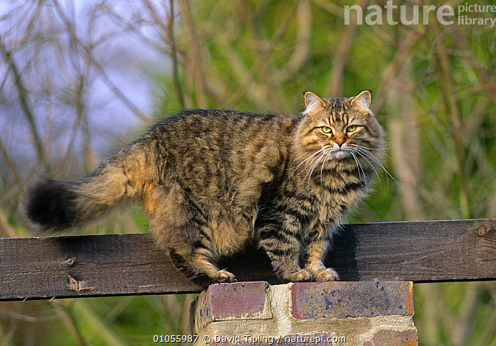 Domestic cat (Felis catus) walking along fence, UK  ,  CARNIVORES,CATS,DOMESTICATED,ENGLAND,EUROPE,LONG HAIRED,MAMMALS,PETS,PORTRAITS,TAILS,UK,VERTEBRATES,United Kingdom,British  ,  David Tipling