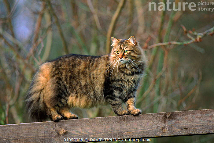 Domestic cat (Felis catus) walking along fence. England, UK, Europe  ,  BRITISH,CARNIVORES,ENGLAND,EUROPE,FENCE,GARDENS,HORIZONTAL,MAMMALS,PETS,TABBY,UNITED KINGDOM,WALKING  ,  DAVID TIPLING