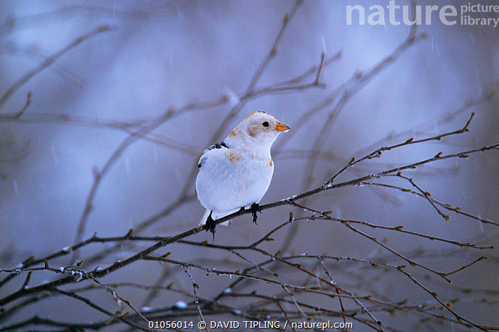 Snow bunting {Plectrophenax nivalis} in winter, Scotland, UK  ,  BIRDS,BUNTINGS,EUROPE,MALES,PASSERINES,SCOTLAND,UK,VERTEBRATES,WINTER,United Kingdom,British,WEATHER  ,  DAVID TIPLING