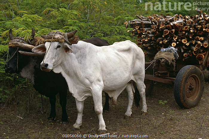 Domestic oxen {Bos indicus} pulling cart of firewood, Zapata Swamp, Bermeja, Cuba  ,  AGRICULTURE,ARTIODACTYLA,BOVIDS,CATTLE,DOMESTIC,LIVESTOCK,MAMMALS,PORTRAITS,SOUTH AMERICA,TRADITIONAL,VERTEBRATES,WORKING  ,  Doug Wechsler